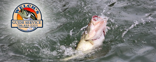 Lake Chatuge Spotted Bass